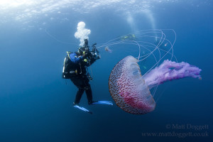 Giant jelly, Pelagia noctiluca, Sula Sgeir, Scotland