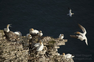 Northern gannets (Morus bassanus) nesting on the clifftops